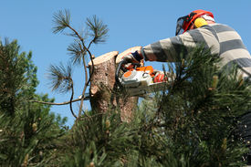 image of cutting trees  - pine tree cut into pieces by the gardener - JPG