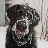 Labradoodle Covered in Snow
