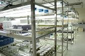picture of callus  - experiment of plant tissue culture in the laboratory - JPG