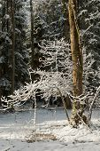 Coniferous Stand In Winter With Old Alder Trunk