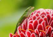 Green Gecko On A Flower