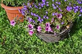 image of lobelia  - Summer in the garden lobelia and surfinia flowers - JPG