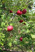 Pretty Red Apples In A Tree