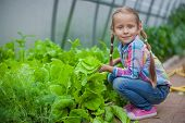 Nice Little Girl Collects The Crop In The Greenhouse