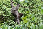 Three Toed Sloth Hanging