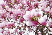 picture of saucer magnolia  - Blooming saucer magnolia with delicate pink flowers - JPG