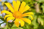 A Single Yellow Daisy