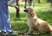 stock photo of fluffy puppy  - Golden Retriever outdoor training process in the park - JPG