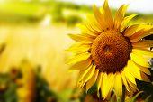 Tuscany-Sonnenblumen