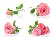 Bright Pink Roses, Collage, Isolated