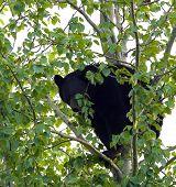 Adult Black Bear in Tree