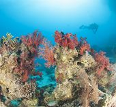 Diver On Tropical Coral Reef