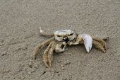 stock photo of crustations  - A dead crab on a sandy beach - JPG