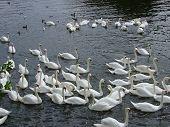 Severn River swans