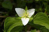Trillium Kamchatkan (trillium Camschatcense)