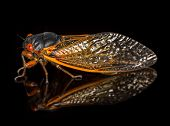 Macro Image Of Cicada From Brood Ii