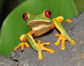 stock photo of prince charming  - male juvenile red eyed green tree frog hanging onto branch - JPG