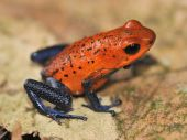 Blue Jeans or strawberry poison dart frog