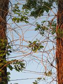 image of slash  - Branches of an invasive tree attached to Slash Pine trees - JPG