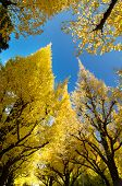 Ginkgo Trees Against Blue Sky, Worm Eye View