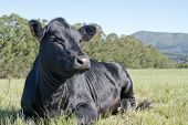 image of animal husbandry  - A young black angus cow lying in a field - JPG
