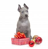 Thai Ridgeback Puppy With Christmas Decoration