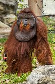 Dominant male orangutan with the signature developed cheek in the Chiang Mai zoo, Thailand