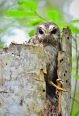 Cuban Screech-owl  In Tree Hole