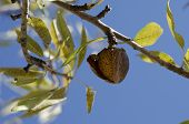 stock photo of stewardship  - An Almond on the tree with blue skys in background - JPG