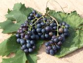 Grapes with vine leaves