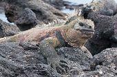 Close Up Of Galapagos Marine Iguana At Rest