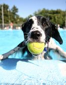 stock photo of pal  - a cute dog at a local public pool - JPG