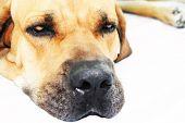 Face of Fila Dog