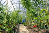 Growing Tomatoes In The Greenhouse Made Of Polycarbonate