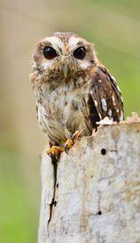 stock photo of screech-owl  - Cuban Screech - JPG