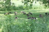 Canada Geese and Goslings on Grass