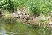 Canada Geese and Goslings on Rocks