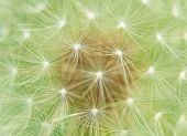 Dandelion Fluff Background