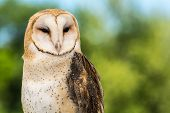 foto of banshee  - A close up of a Barn Owl - JPG