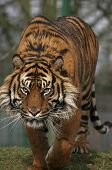 Prowling Tiger