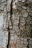 Texture Of Fracture On The Tree Bark.