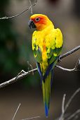 Beautiful Yellow Sun Conure Parrot Bird Sitting On The Branch With Back Profile