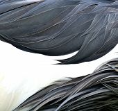 Close Up Of Greay And White Crown Crane's Feathers