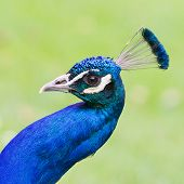 Portrait Of An Indian Peafowl