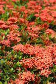 Ixora Flowers In The Garden