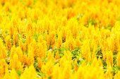 Yellow Gold Celosia Flower In The Garden
