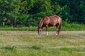 Horse a Grazing