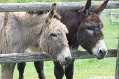 image of donkey  - A pair of donkey - JPG