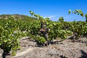 Vineyards At Gruissan