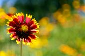 Gaillardia (Blanket Flower) in bloom, outdoors